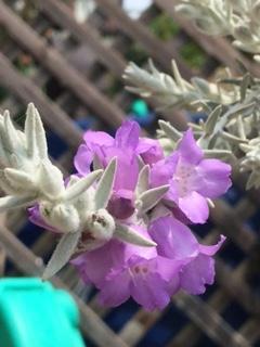 エレモフィラニベアの花、アップ