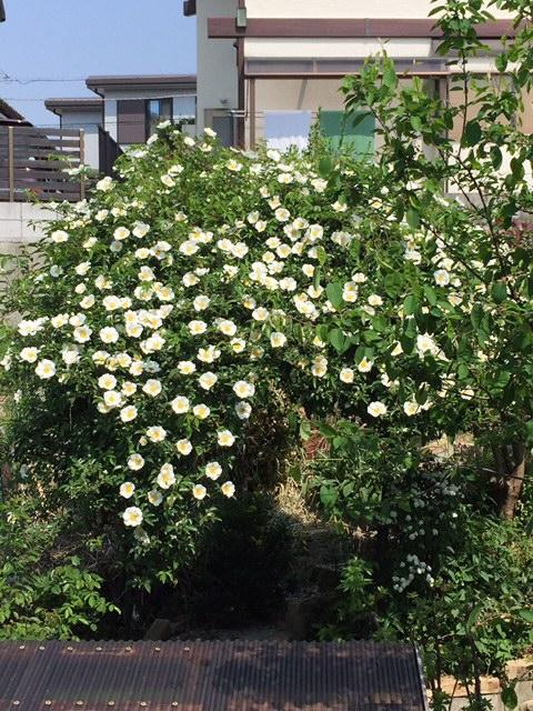 斜面の庭のアーチ、ナニワイバラも満開