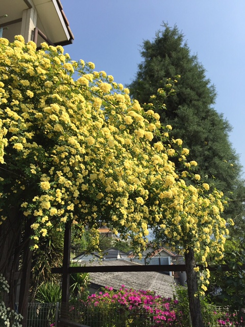 玄関側の黄モッコウバラが満開