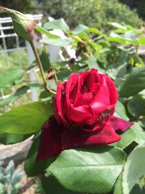 名無しの赤いバラが咲きました