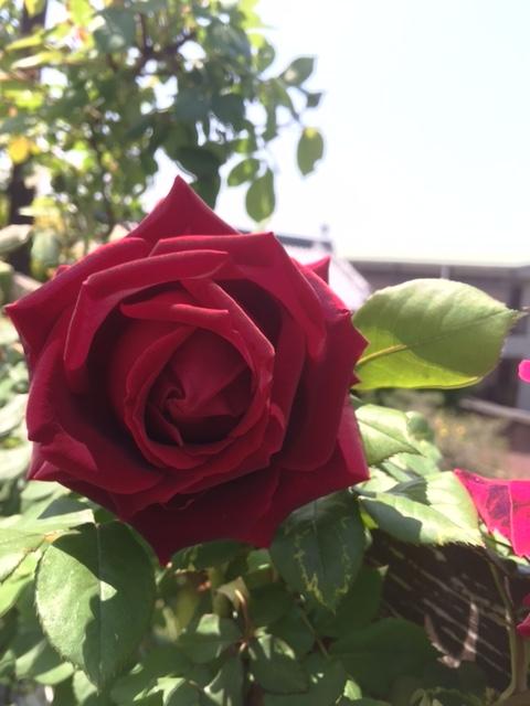 名無しの赤いつるバラ