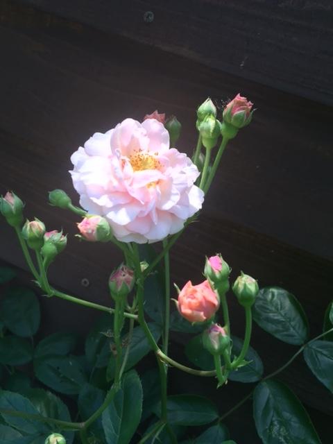 コーネリアが咲きました