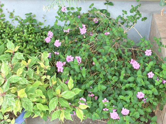 アズビスの下の小葉のランタナ ピンク