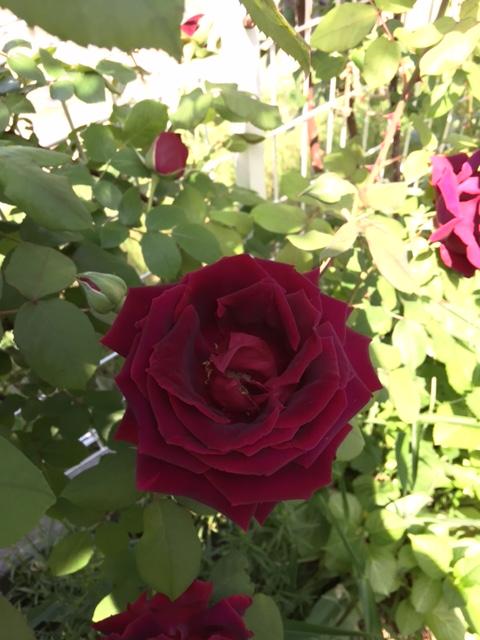 名無しの赤いバラのアップ