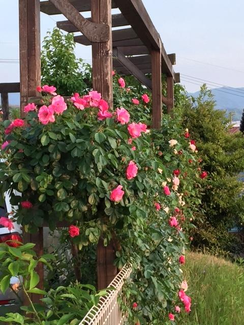 アンジェラとピエールと赤いバラ
