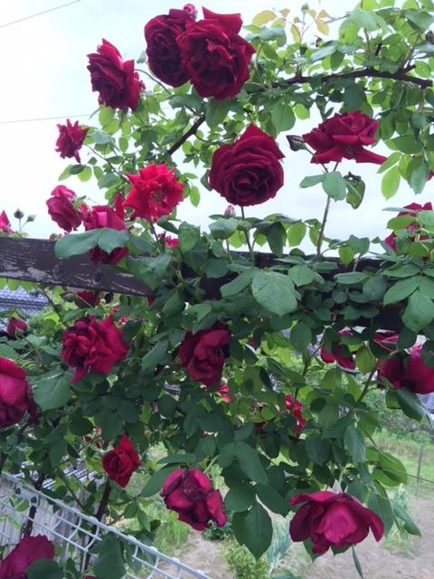 名称不明の赤いバラ