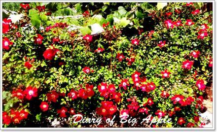 庭の垣根のバラ