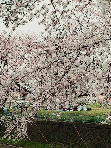 お散歩桜-1