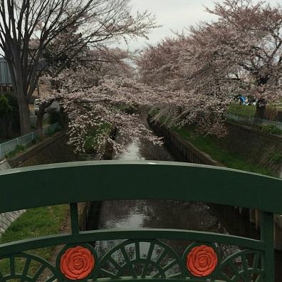 お散歩桜4