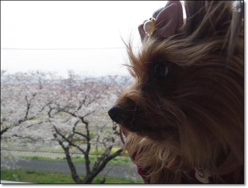 桜IMGP2474-20150329