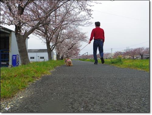 桜IMGP2477-20150329