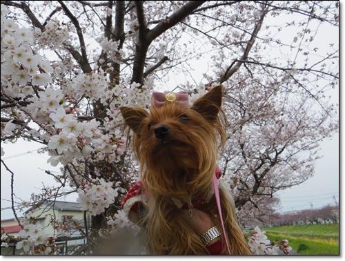 桜IMGP2478-20150329