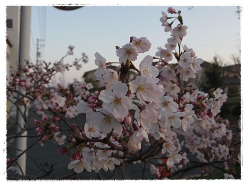 3月30日の桜IMGP2479-20150330