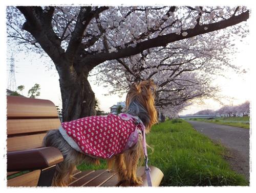 3月30日の桜IMGP2480-20150330