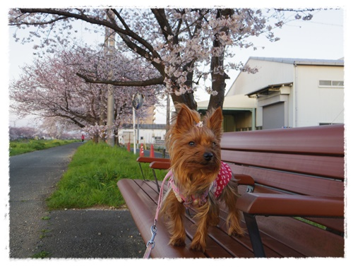 3月30日の桜IMGP2481-20150330