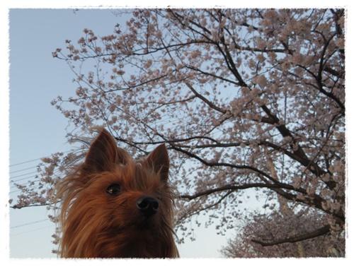 3月30日の桜IMGP2482-20150330
