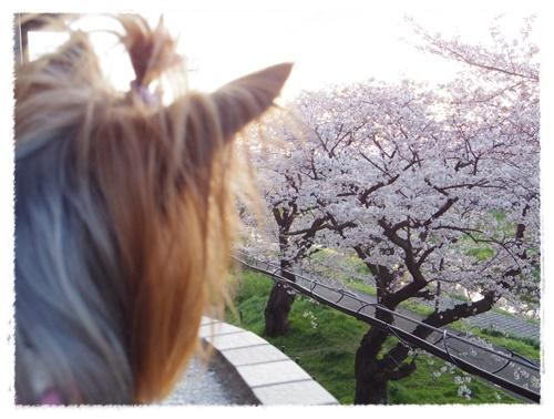 3月30日の桜IMGP2485-20150330