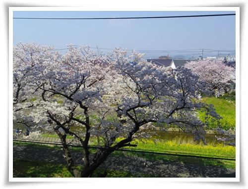 3月31日の桜IMGP2486-20150331