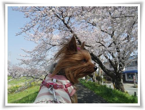 3月31日の桜IMGP2487-20150331