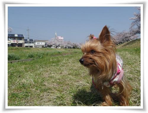 3月31日の桜IMGP2490-20150331