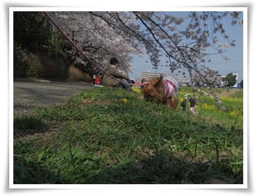 3月31日の桜IMGP2494-20150331