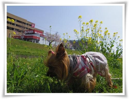 3月31日の桜IMGP2496-20150331