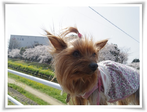 3月31日の桜IMGP2497-20150331