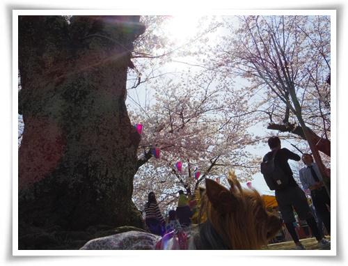 3月31日の桜IMGP2500-20150331