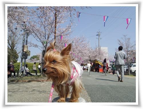 3月31日の桜IMGP2502-20150331