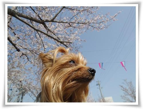 3月31日の桜IMGP2503-20150331