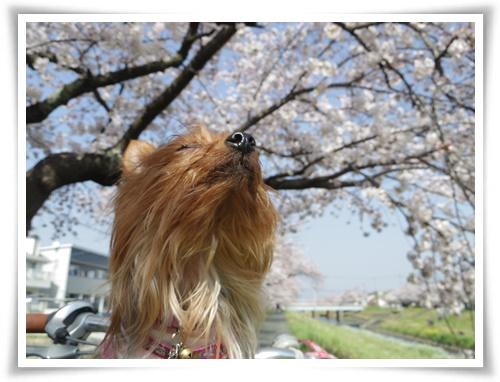 3月31日の桜IMGP2504-20150331