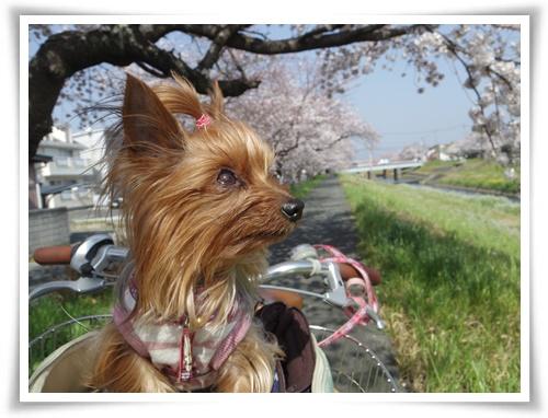 3月31日の桜IMGP2505-20150331