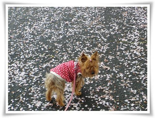 桜の絨毯IMGP2518-20150406