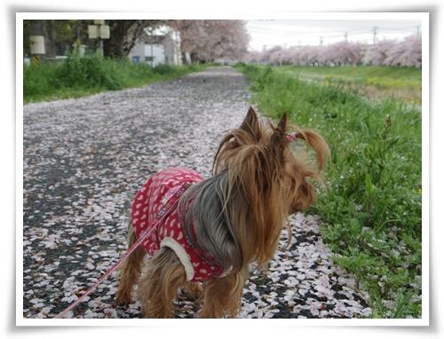 桜の絨毯IMGP2519-20150406