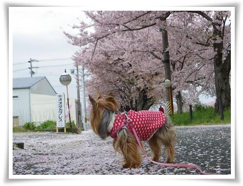 桜の絨毯IMGP2520-20150406