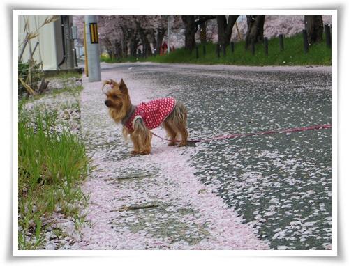 桜の絨毯IMGP2521-20150406