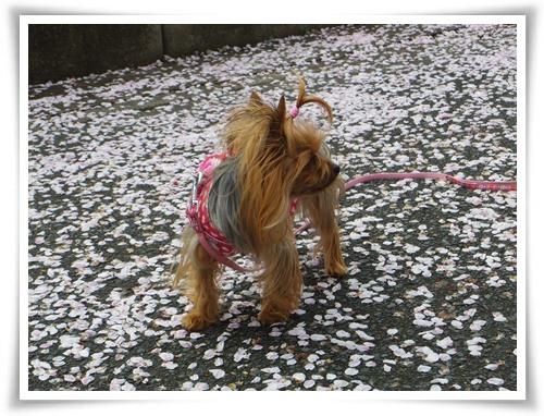 桜の絨毯IMGP2523-20150406