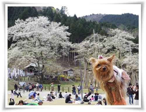 薄墨桜を見に2IMGP2568-20150412-131132