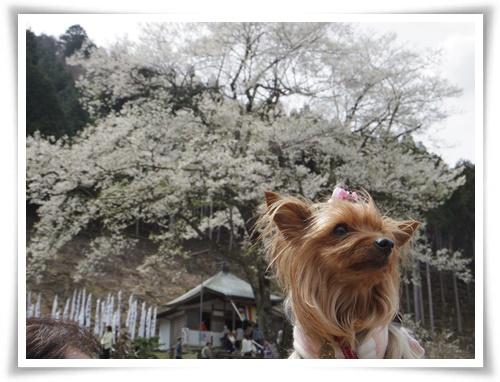 薄墨桜を見に2IMGP2569-20150412-131244