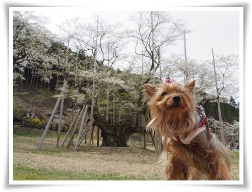 薄墨桜を見に2IMGP2571-20150412-131348