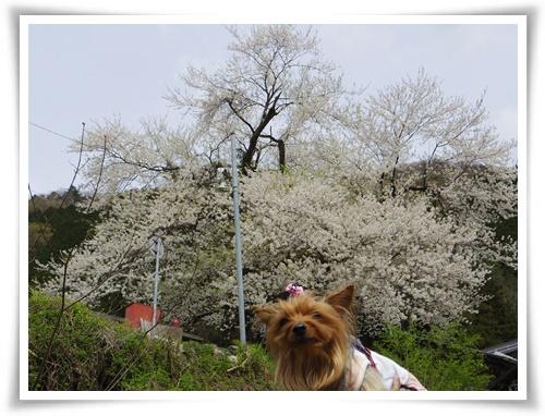 薄墨桜を見に2IMGP2576-20150412-134521
