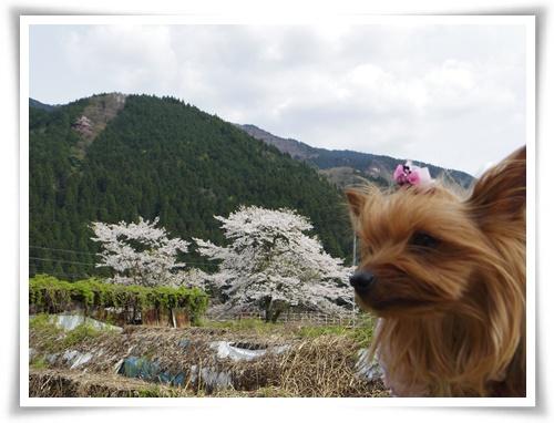 薄墨桜を見に2IMGP2578-20150412-140155