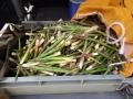 竹の子収穫