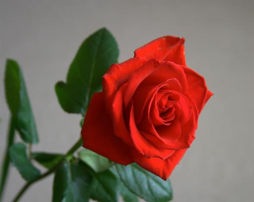 s-628-2赤いバラ