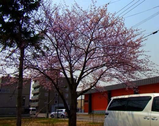 s-654-1桜満開