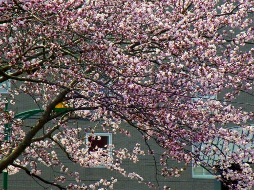 s-654-2桜満開2