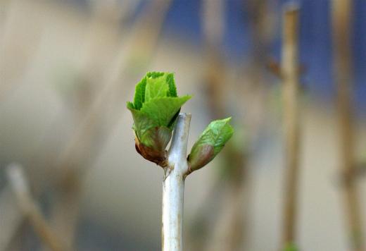 s-656-4アジサイの芽