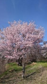 20150423桜