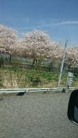 20150429八重桜