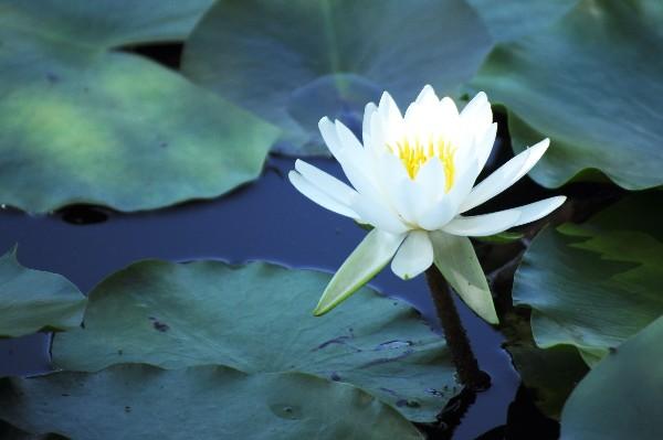旧津山藩別邸庭園(衆楽園)」の蓮